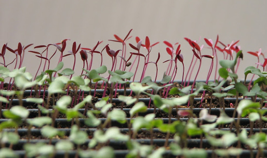Red and green sprouts growing