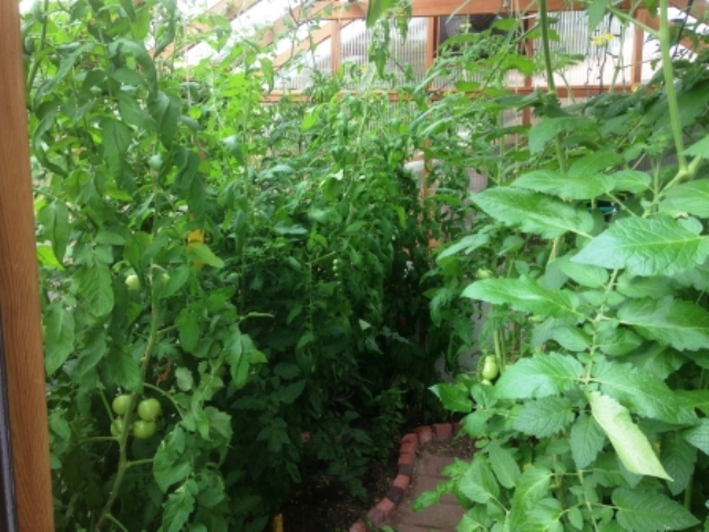 Rafter tomatoes in short seasons