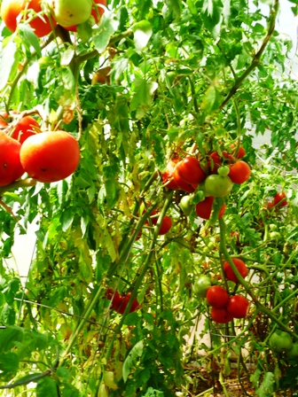 ViningTomatoes in short seasons